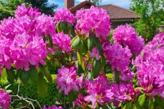 Blumenpracht Wiesengrund Pink